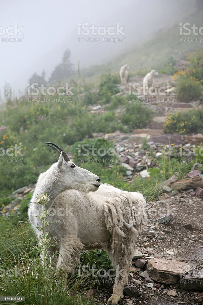 Mountain Goats on a Foggy Day royalty-free stock photo