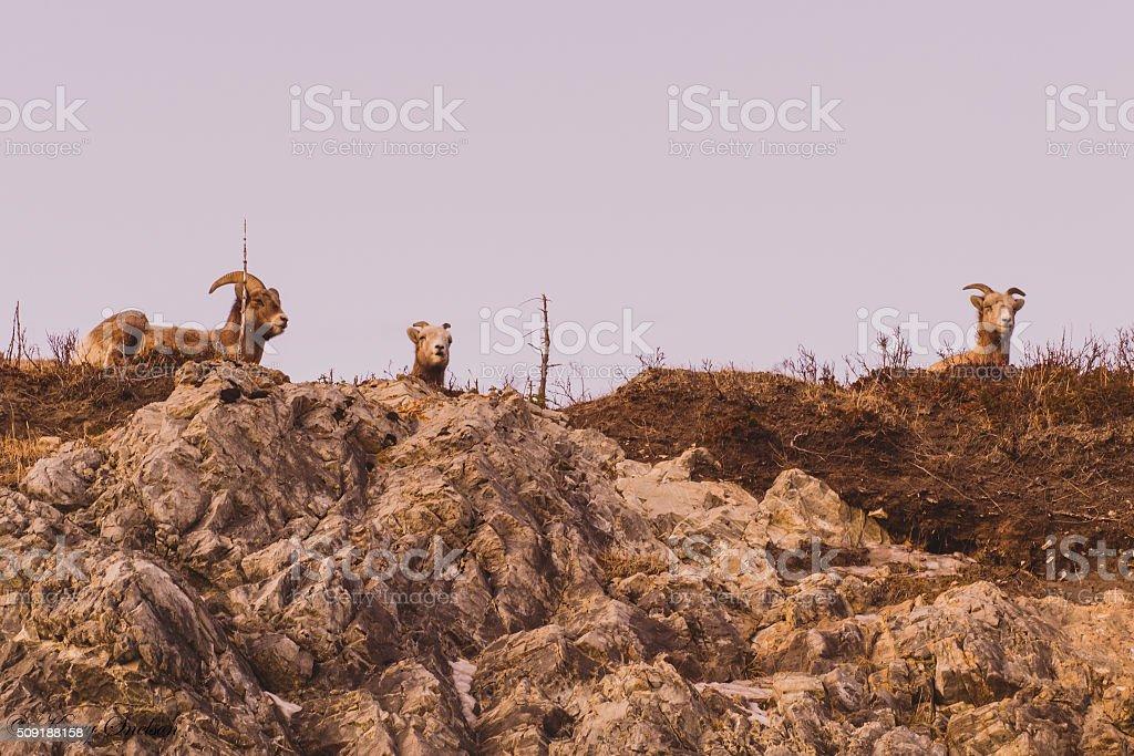 Mountain Goats on a Mountain stock photo