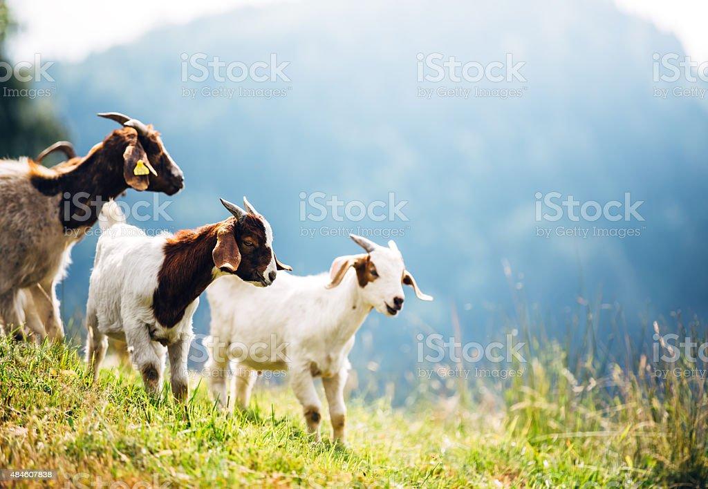 Mountain Goats On Pasture stock photo