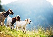 Mountain Goats On Pasture