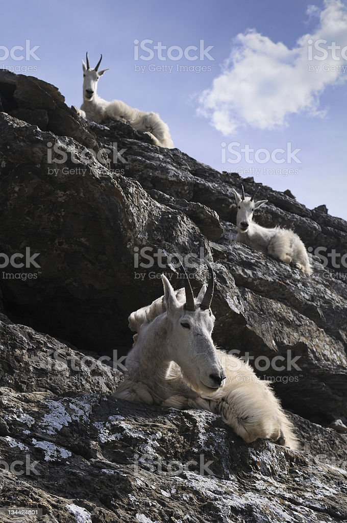 Mountain Goats on Rocks royalty-free stock photo