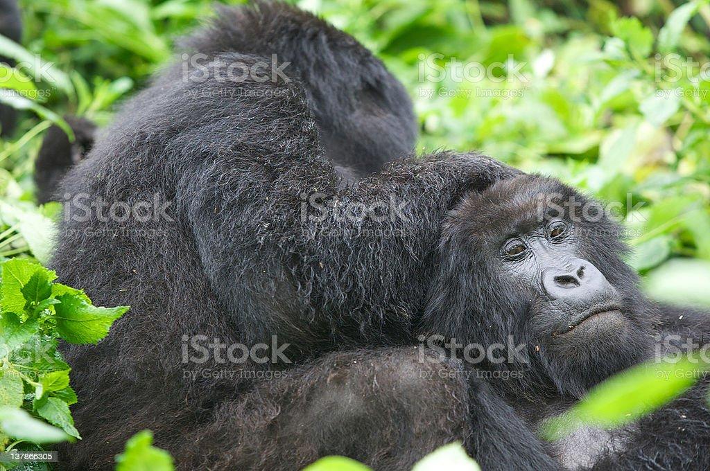 Mountain gorilla group stock photo