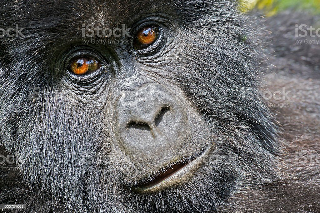 Mountain Gorilla (Gorilla beringei beringei) in the jungle, Rwanda stock photo
