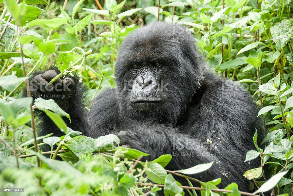 Mountain Gorilla in Volcanoes National Park (Rwanda) stock photo