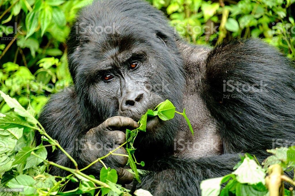 Mountain Gorilla stock photo