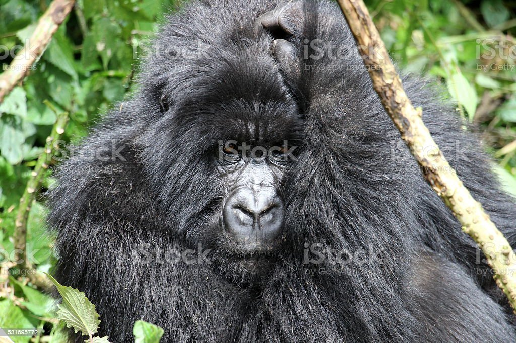 Mountain Gorilla royalty-free stock photo