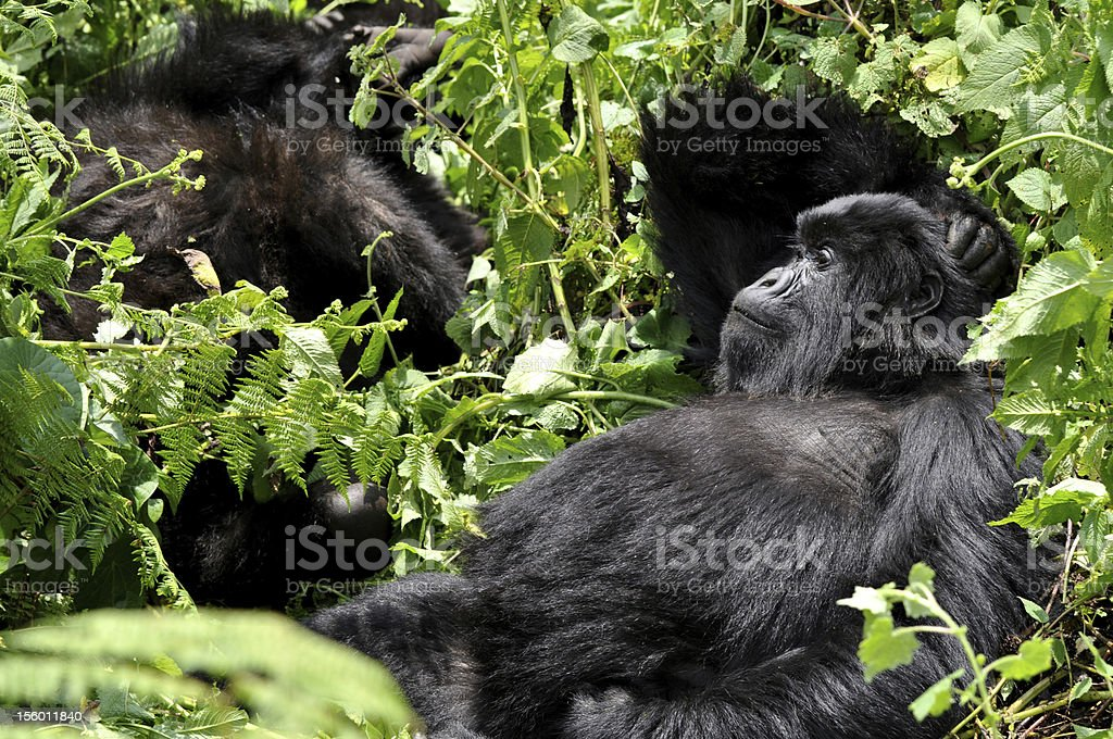 Mountain Gorilla relaxed royalty-free stock photo