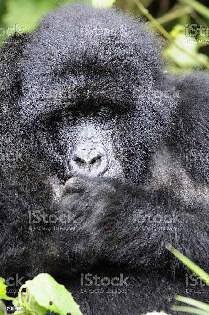 Mountain Gorilla Sleeping in Rwanda stock photo