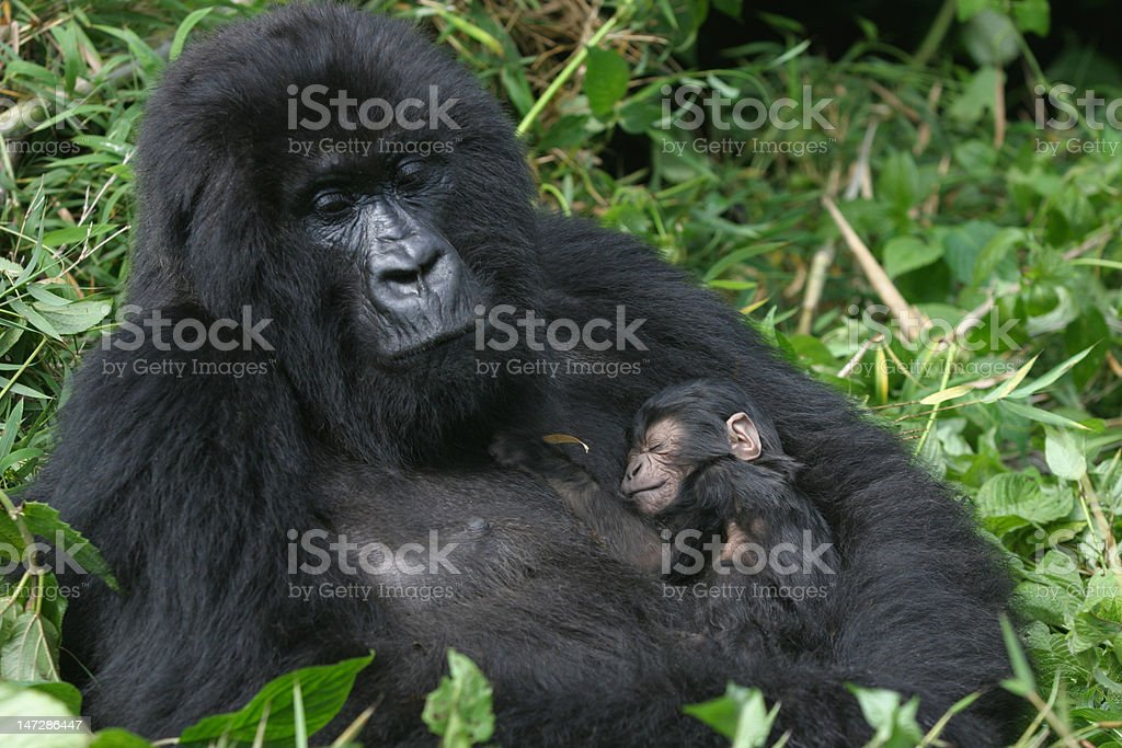 mountain gorilla,rwanda stock photo
