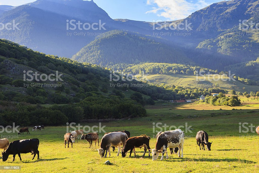 Mountain grassland with grazing cows royalty-free stock photo