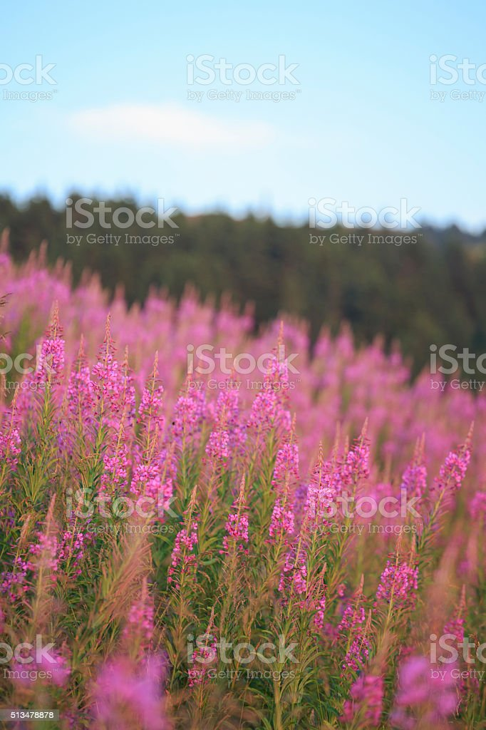 Mountain Landscape  Scenic Mountain View With Wildflower Alpine Meadow stock photo