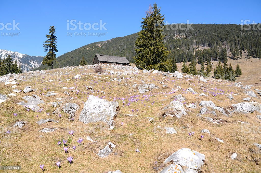 Mountain landscape with purple crocus royalty-free stock photo