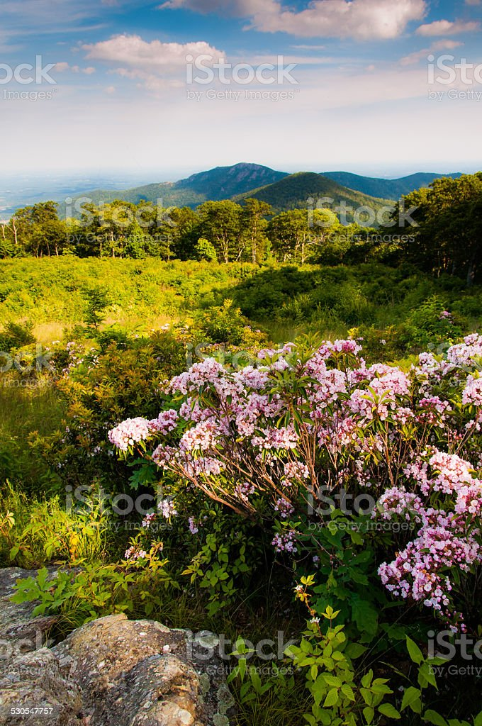 Mountain laurel at Thoroughfare Overlook, on Skyline Drive in Sh stock photo