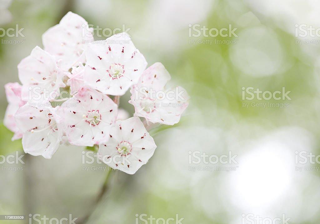 Mountain Laurel bloom stock photo
