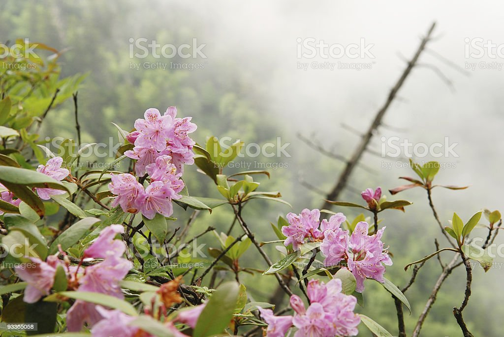 Mountain Laurel Blossoms in Mist in Smoky Mountains stock photo