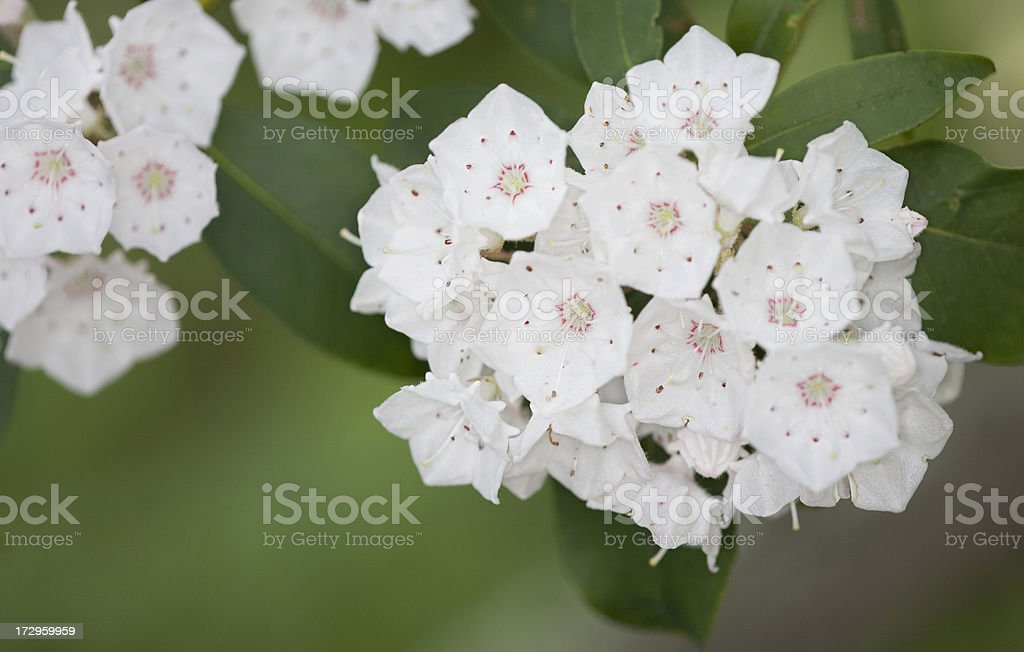 Mountain Laurel Bouquet stock photo