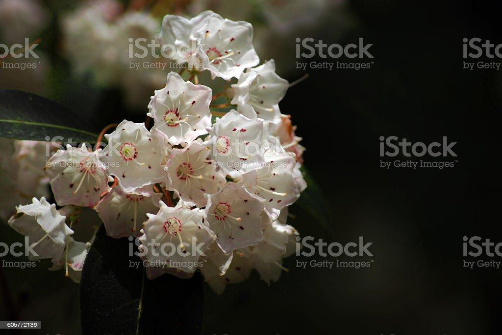 Mountain Laurel Flowers kalmia latifolia stock photo