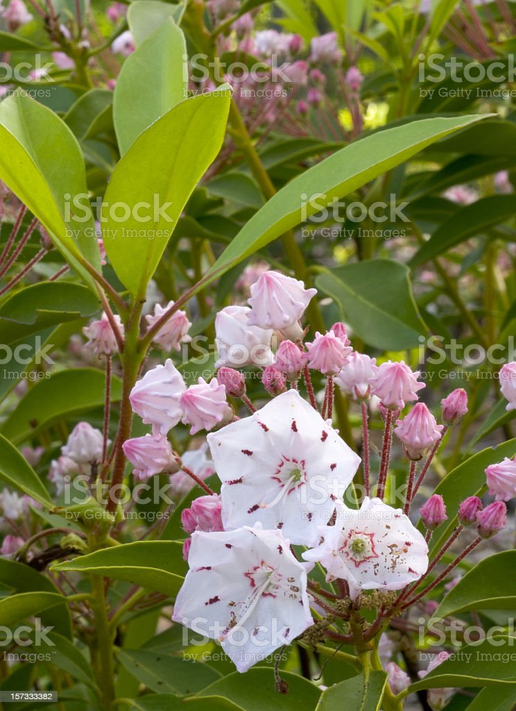 Mountain Laurel framed with leaves. stock photo