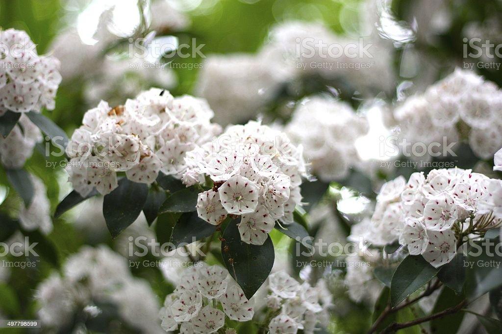 Mountain Laurel in bloom stock photo