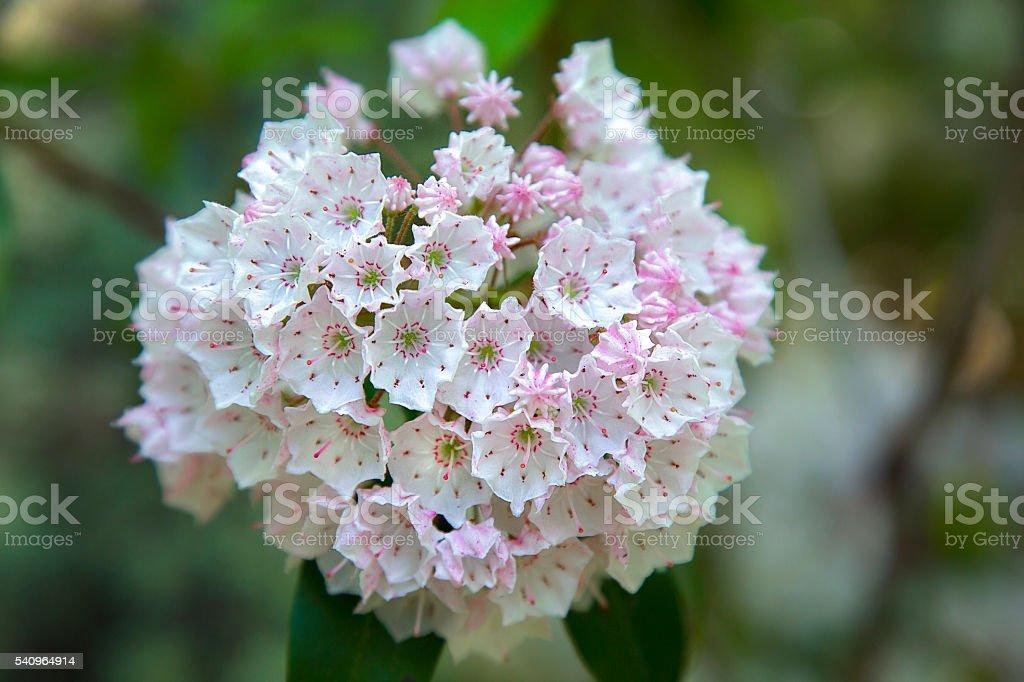 Mountain Laurel in full bloom. stock photo