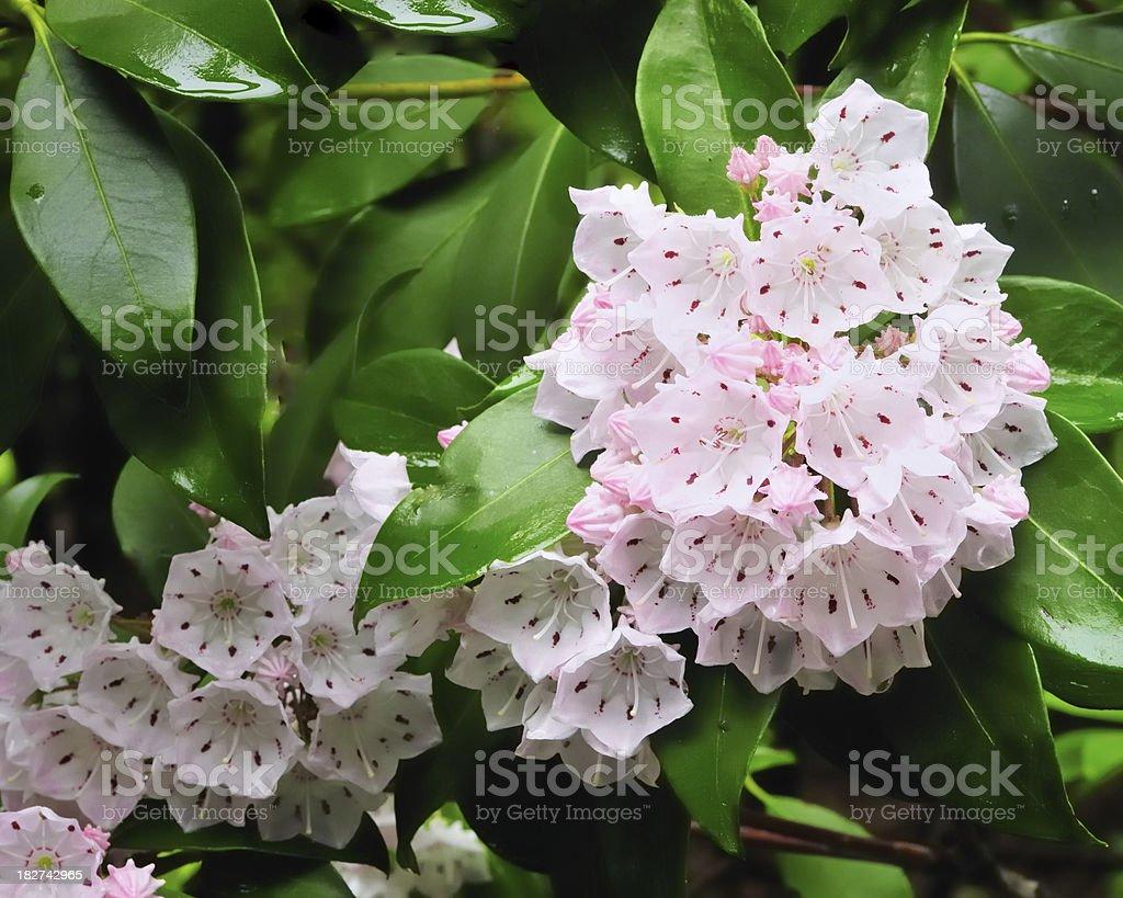 Mountain Laurel Kalmia latifolia In Bloom stock photo