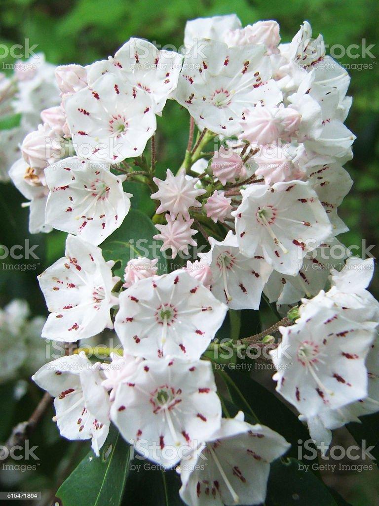 Mountain Laurel Kalmia latifolia stock photo