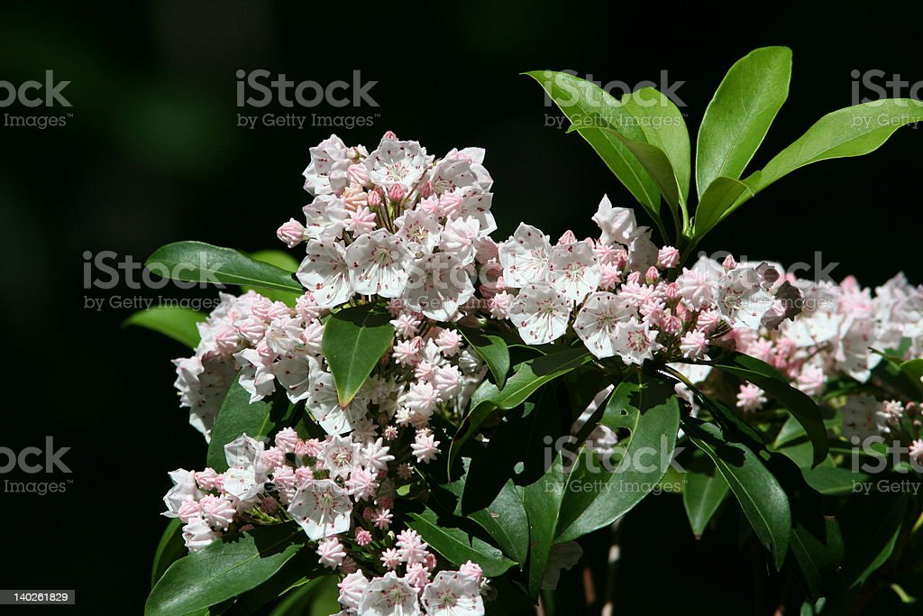 Mountain laurel royalty-free stock photo