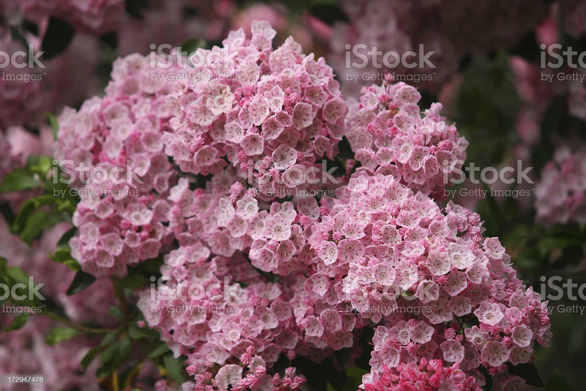 mountain laurel royalty-free stock photo