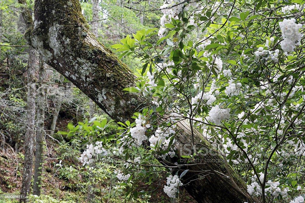 Mountain Laurel stock photo