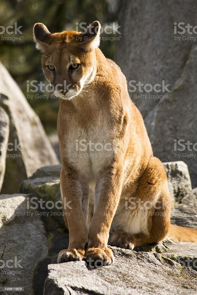 Mountain Lion Cougar Looking for Prey royalty-free stock photo