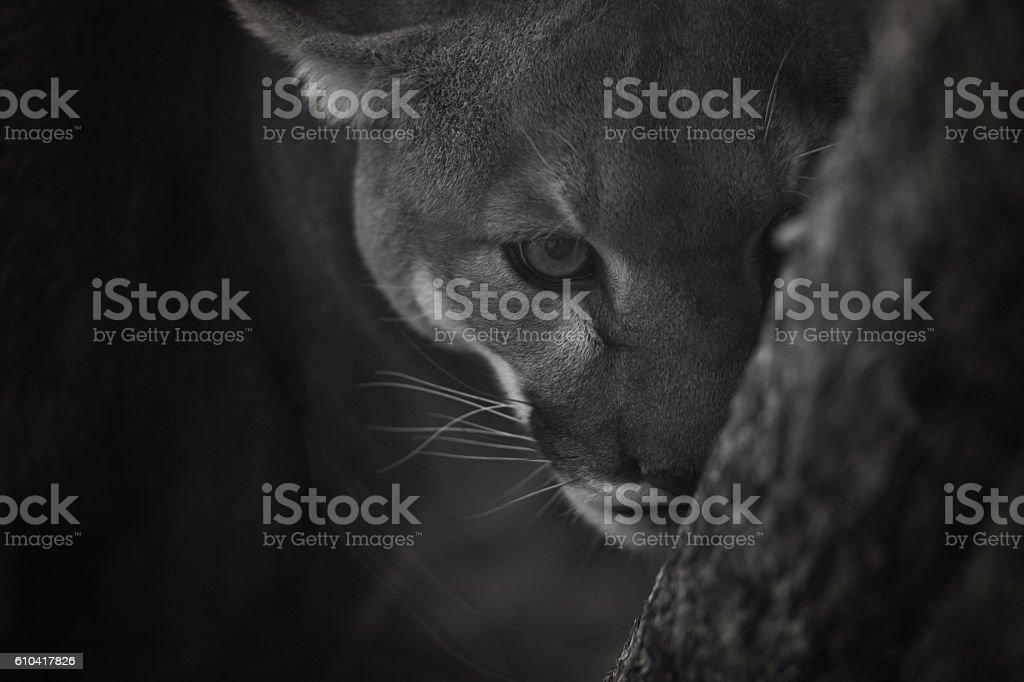 Mountain Lion Eye Contact stock photo