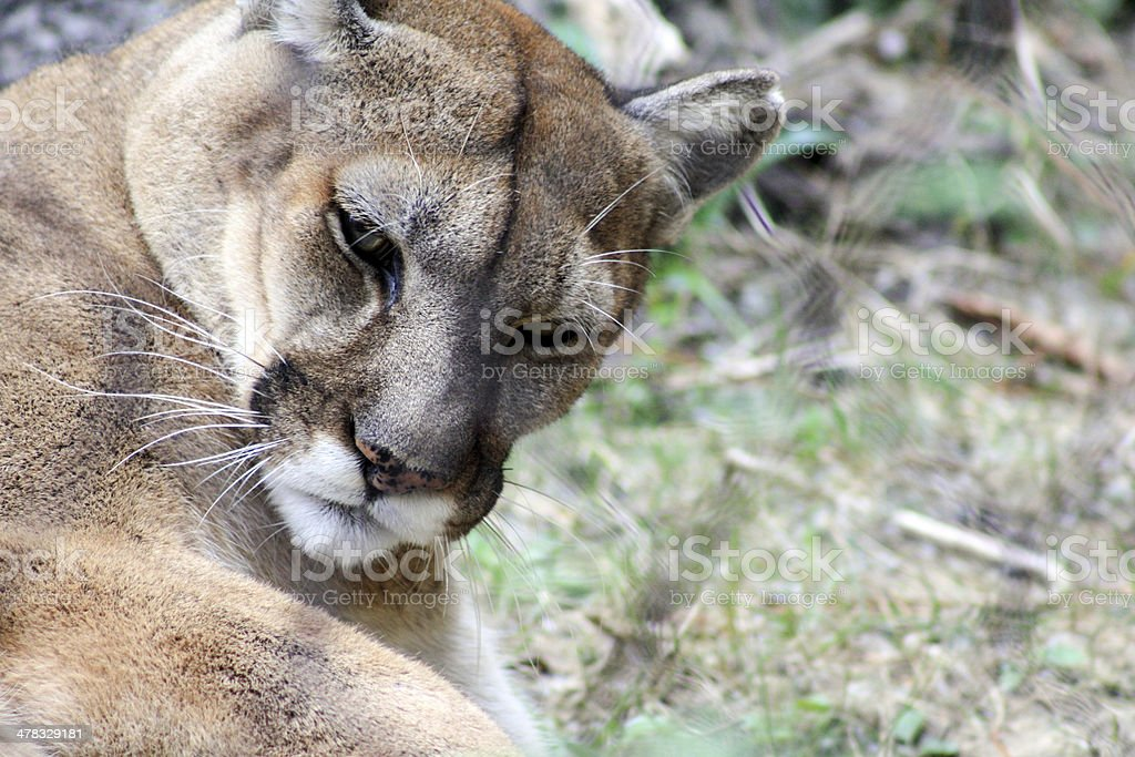 Mountain Lion Grooming stock photo