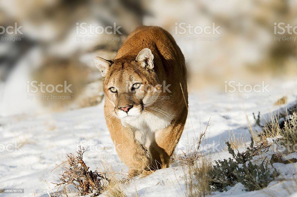 Mountain Lion Hunting stock photo
