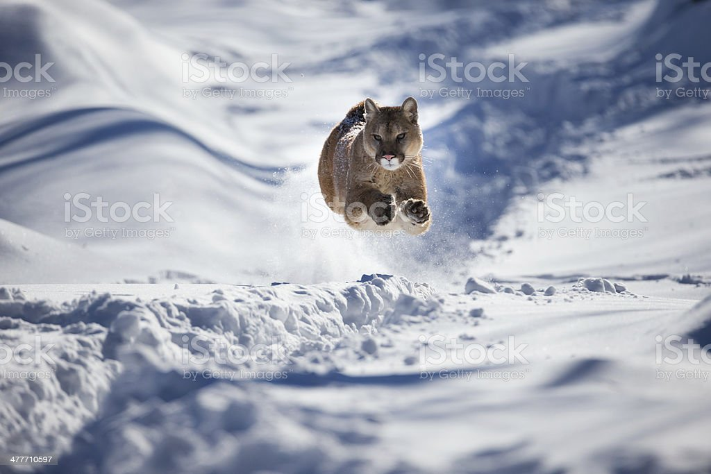 Mountain lion in chase after prey. stock photo