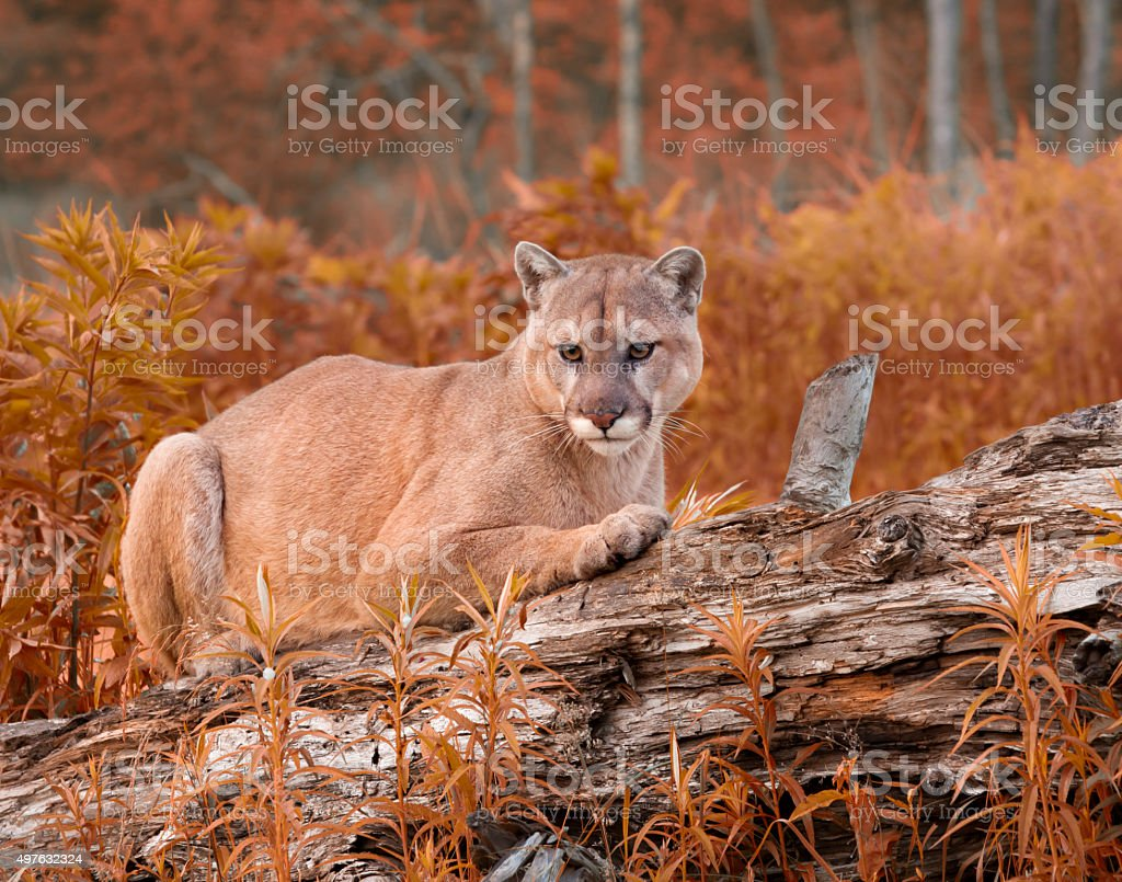 Mountain Lion in Fall Foliage stock photo