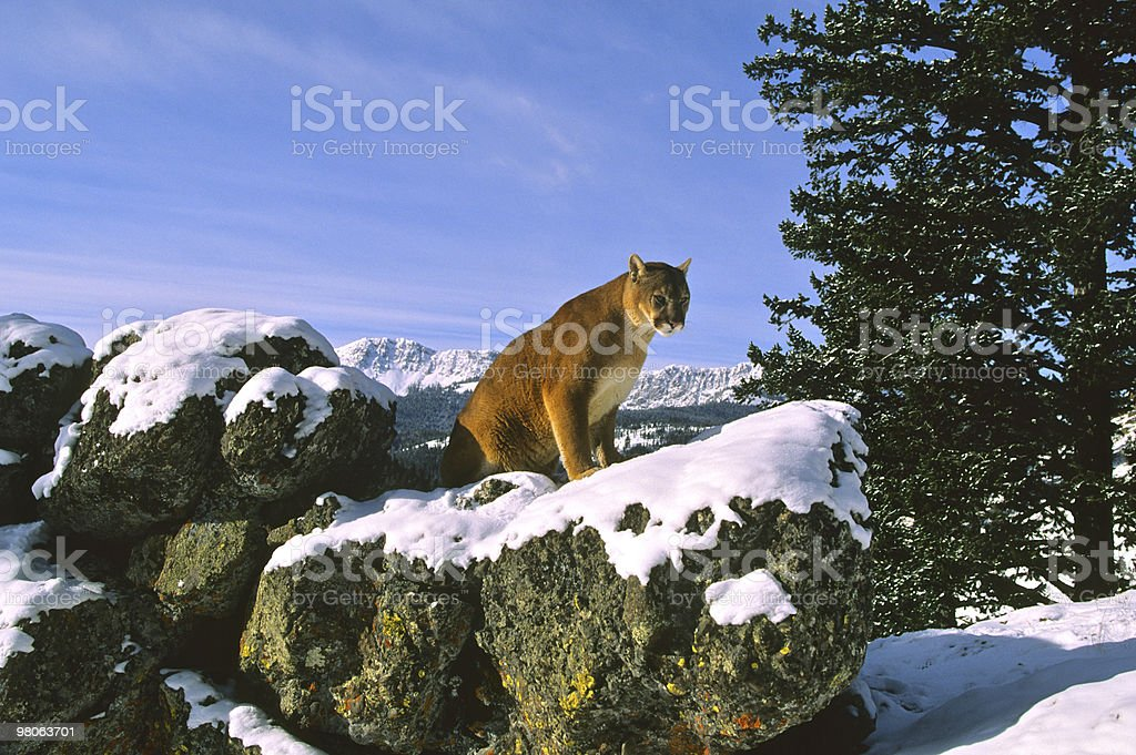 Mountain Lion in Wintry Landscape royalty-free stock photo