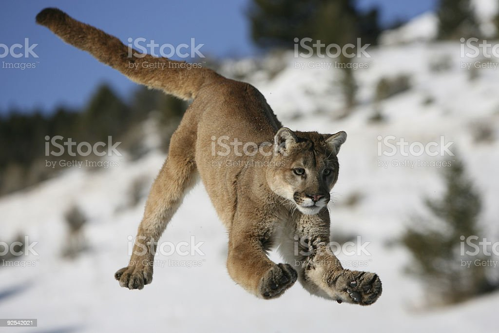 Mountain Lion Jumping royalty-free stock photo