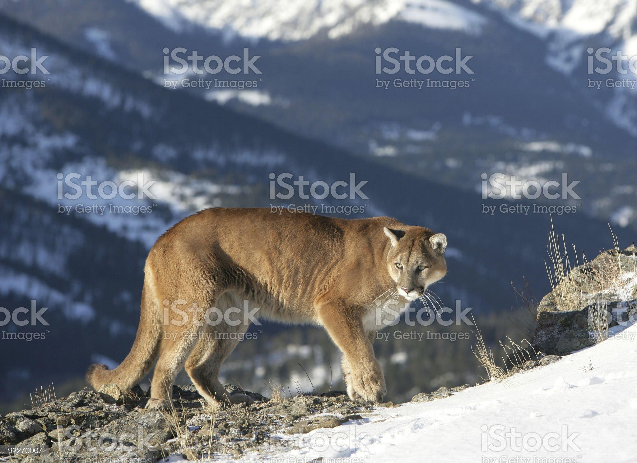 Mountain Lion looking over valley royalty-free stock photo