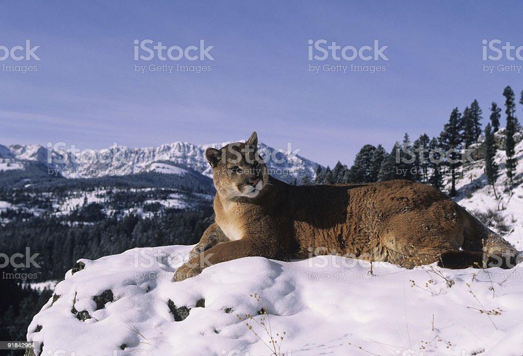 Mountain Lion on Ridge stock photo