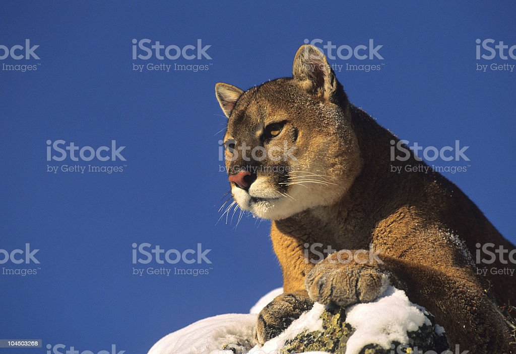 Mountain Lion on Snow Covered Rock royalty-free stock photo
