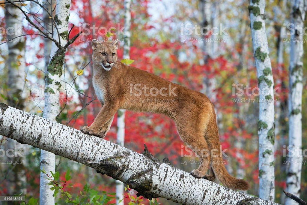 Mountain lion perched posing on fallen birch. stock photo