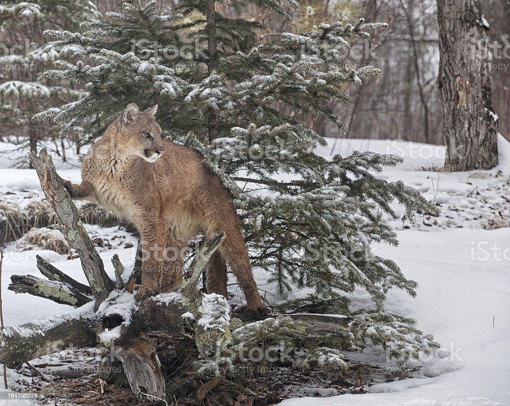 Mountain Lion royalty-free stock photo