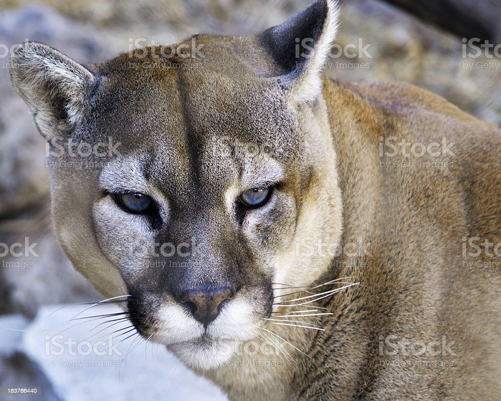 Mountain Lion Portrait royalty-free stock photo