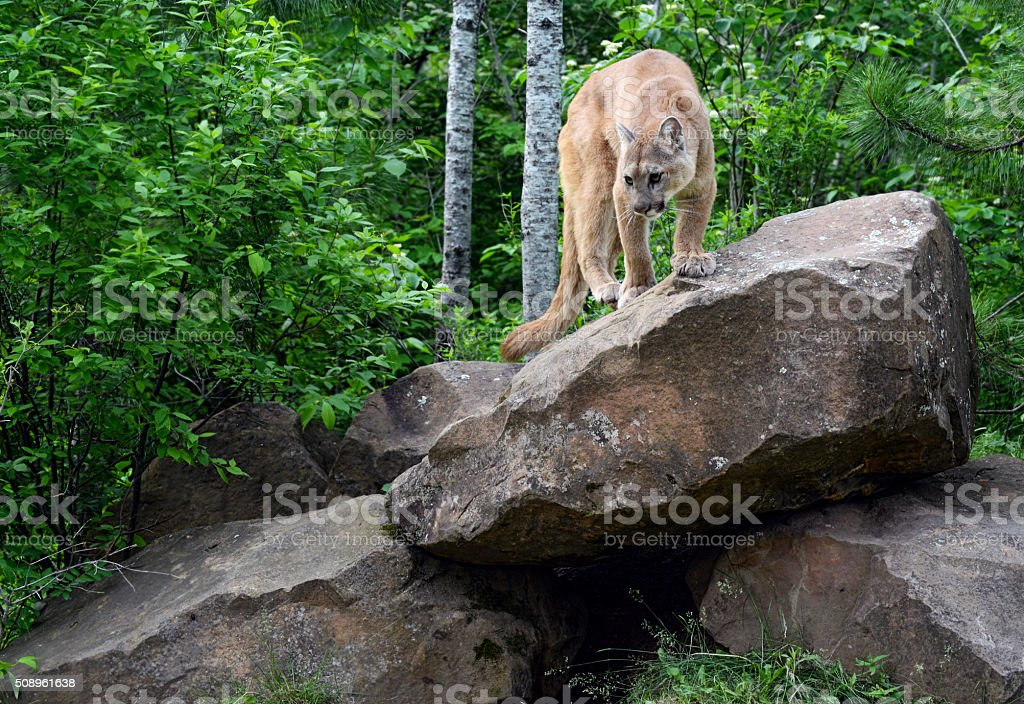 Mountain Lion poses on top of large boulder. stock photo