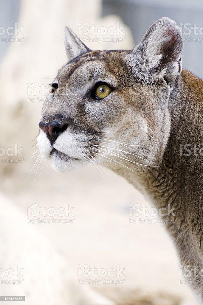 mountain lion, Puma concolor, head stock photo