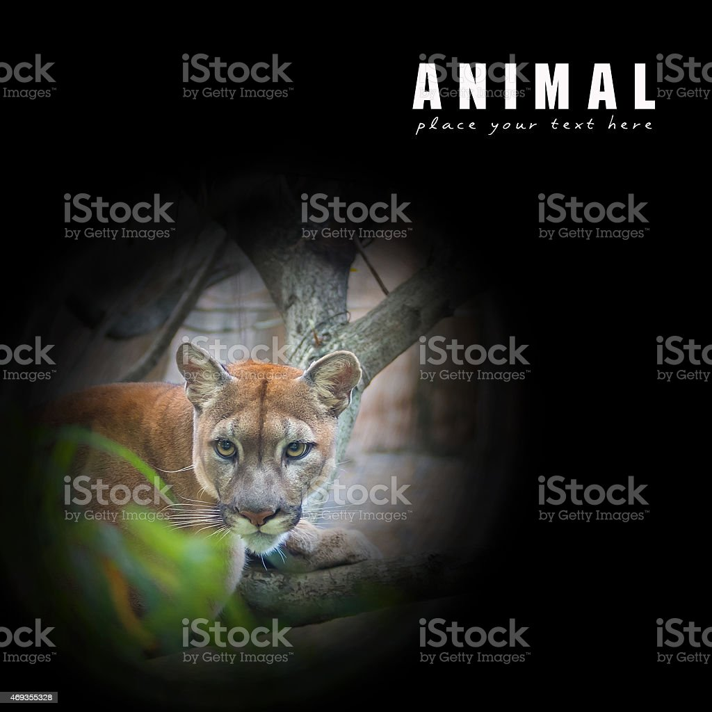 Mountain lion.  puma stock photo