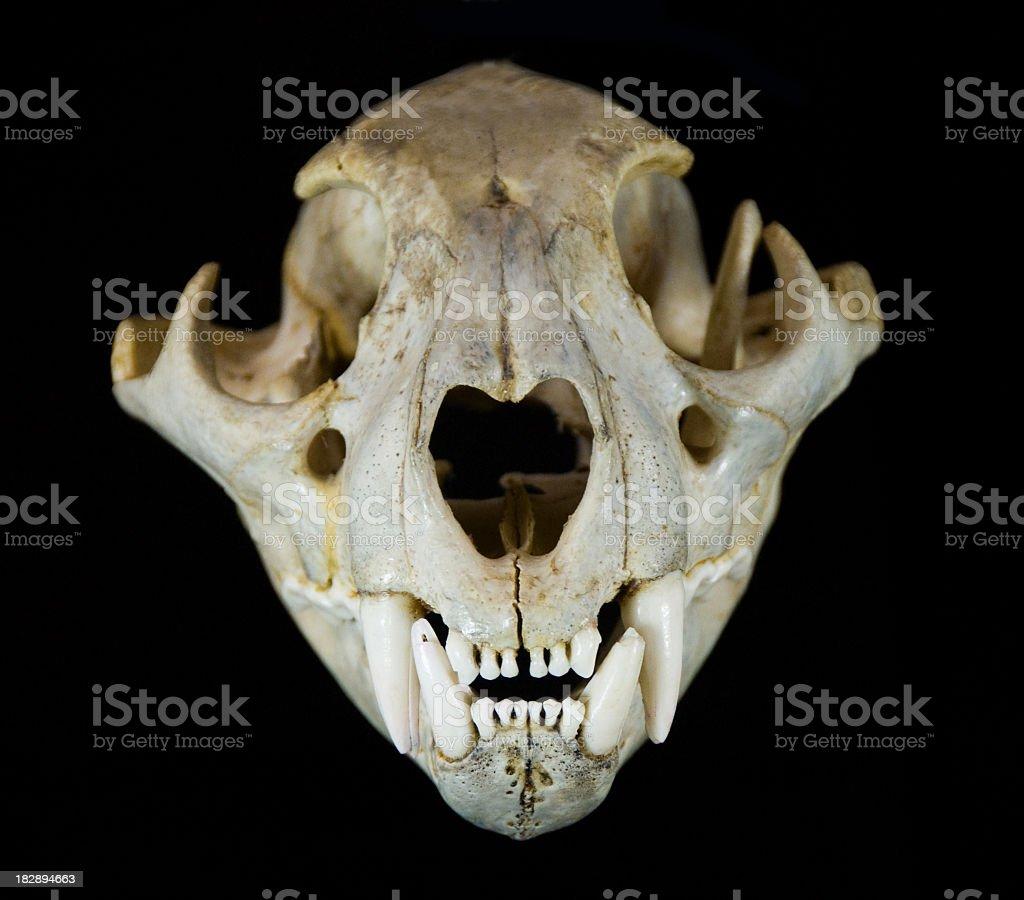 Mountain Lion Skull royalty-free stock photo