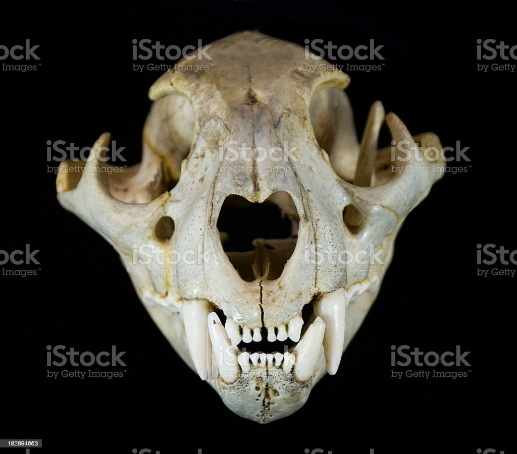 Mountain Lion Skull stock photo