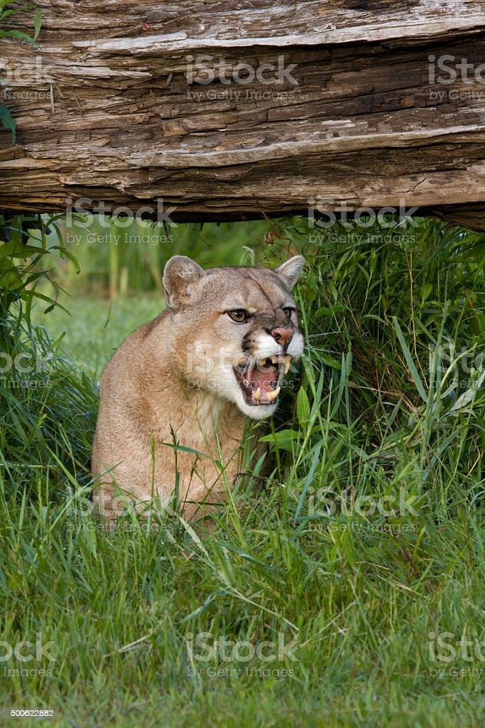Mountain Lion Snarl stock photo