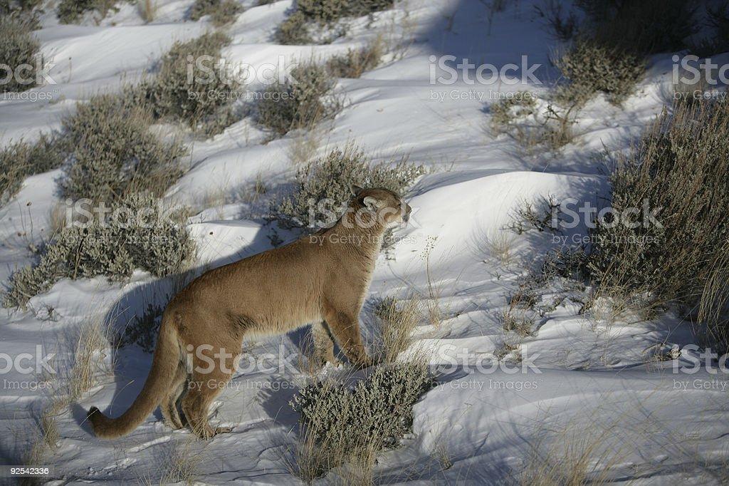 Mountain lion walking in sage brush royalty-free stock photo
